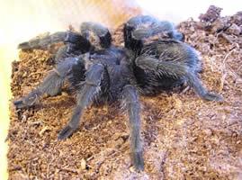 Grammostola spider